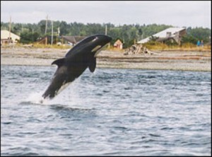 Point Roberts Things to do Orca