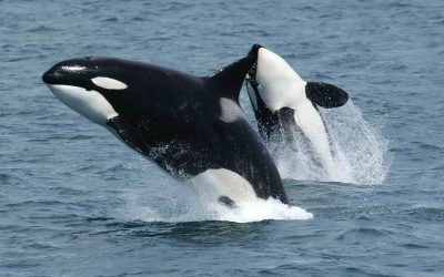 Orca Whales in the San Juan Islands