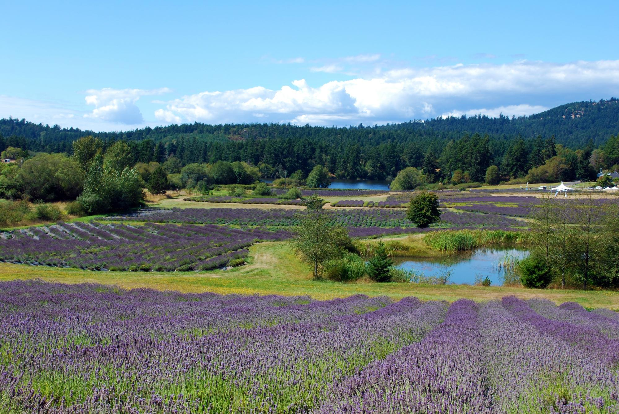 Lavender Farm in the San Juan Islands
