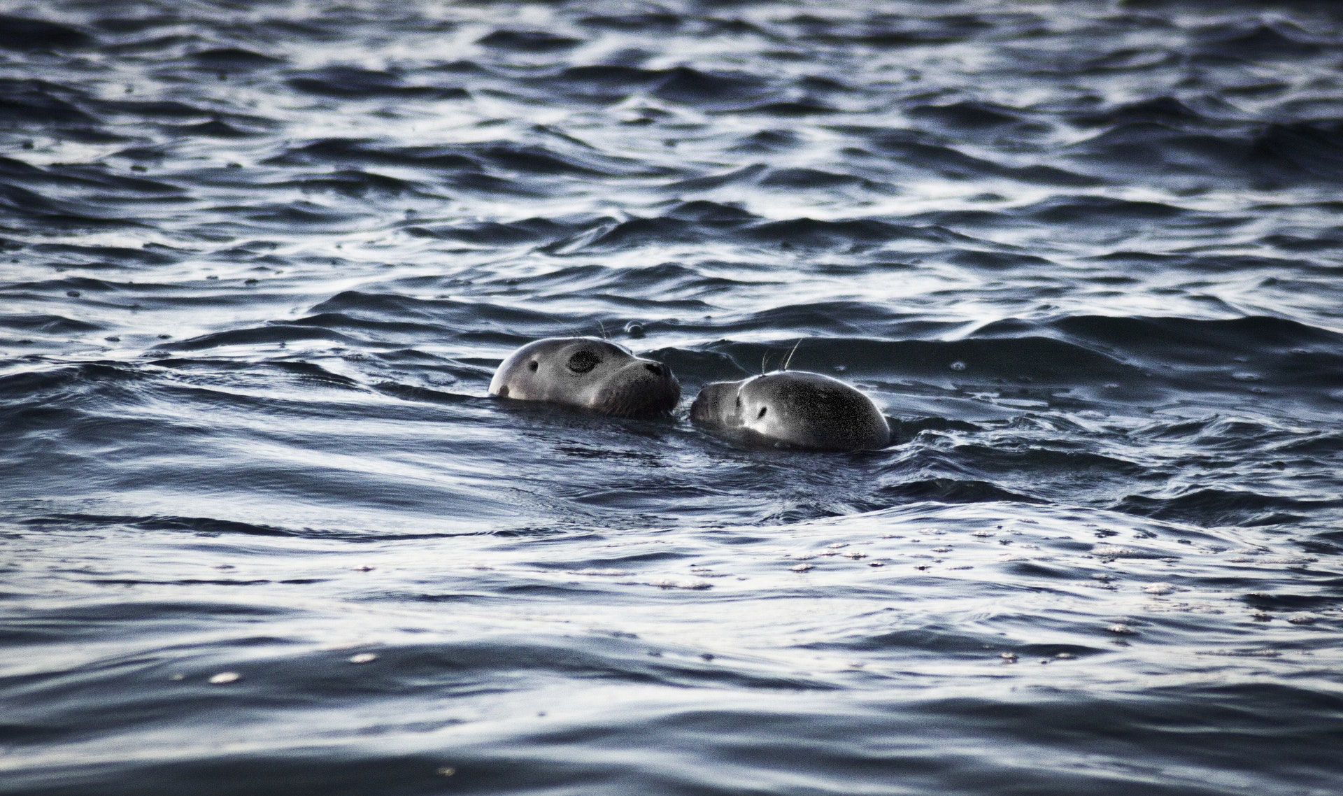 Seals playing in the water in the San Juan Islands